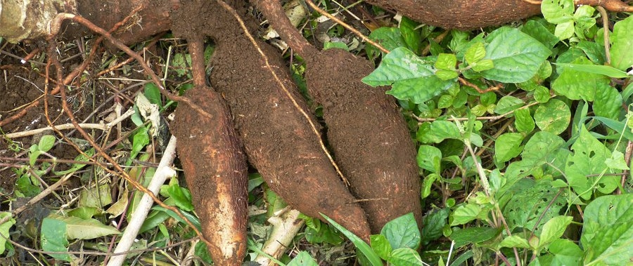 Root and Tuber Products Program
